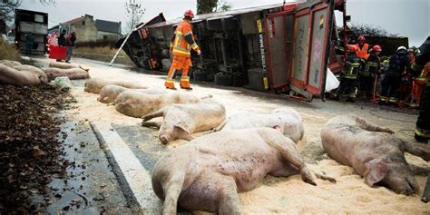 Un camion transportant des cochons accidenté dans la