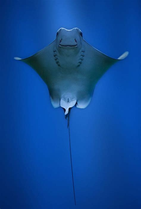Cownose ray by Robert Fruehauf on 500px | Animaux, Raie