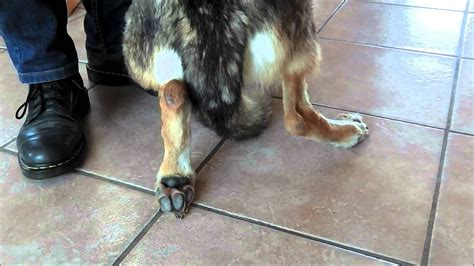 Test MD chien loup tchécoslovaque - YouTube
