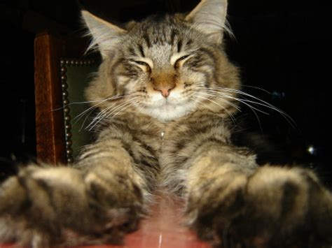 Chadow le Maine Coon Relax