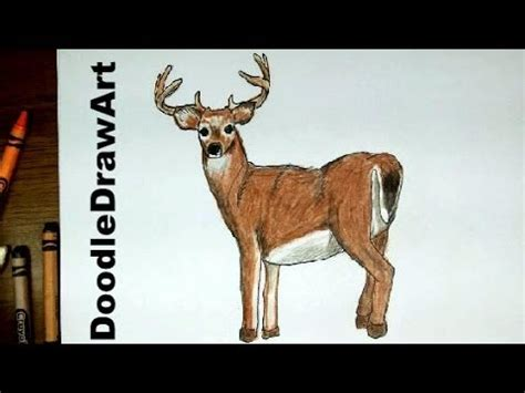 Drawing: How To Draw a Deer - White-Tailed Buck