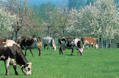 Normandie Guide Pays d'Auge Colombages, vaches normandes