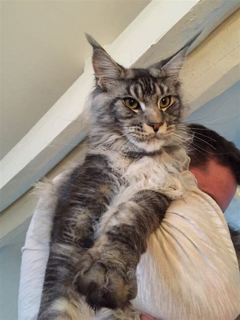 Chats Maine Coon Prix
