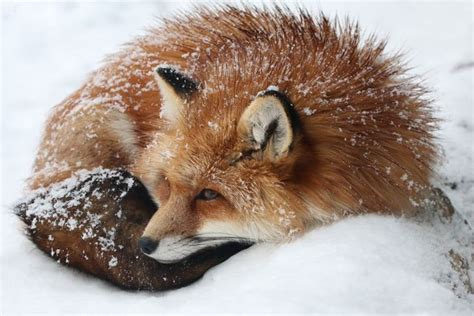 So Apparently There's a Fox Sanctuary in Japan «TwistedSifter