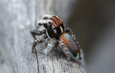Gallery: tiny, beautiful peacock spiders - Australian
